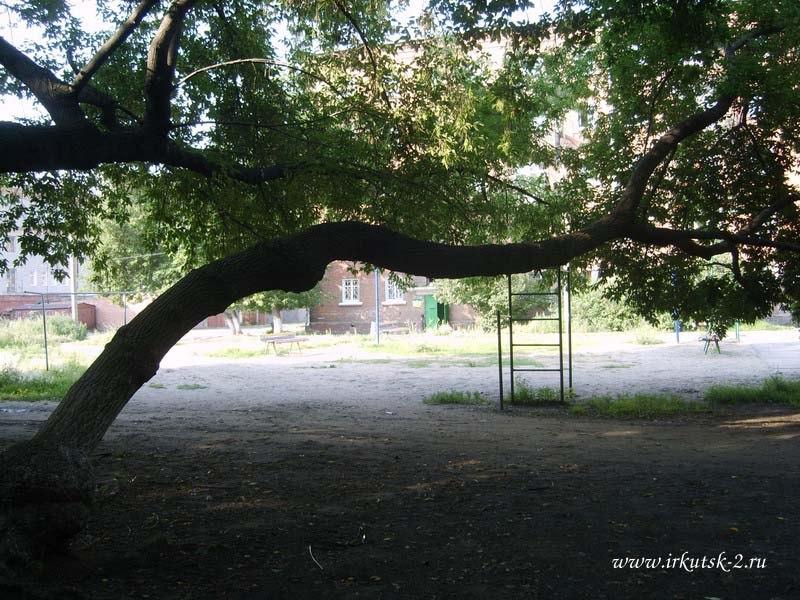 Клён во дворе домов на пересечении улиц Сиб. партизан иЖукова